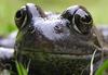 Evil Frog eye. Oh! It's evil.